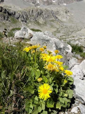 arnica-flower-pain-health