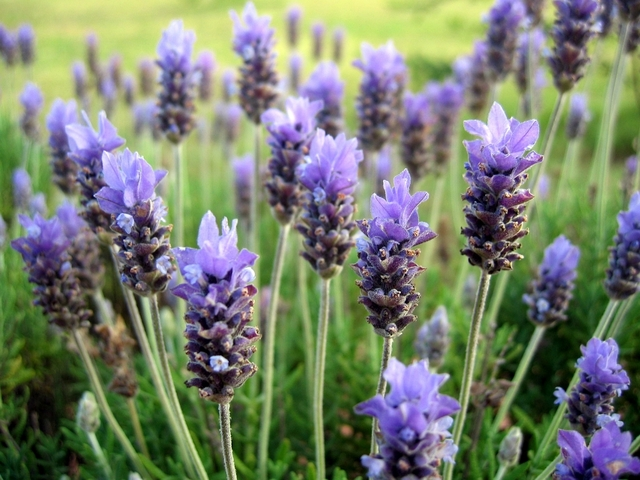 Lavender oil reduces bruising